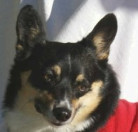 Please donate to AZ Cactus Corgi Rescue